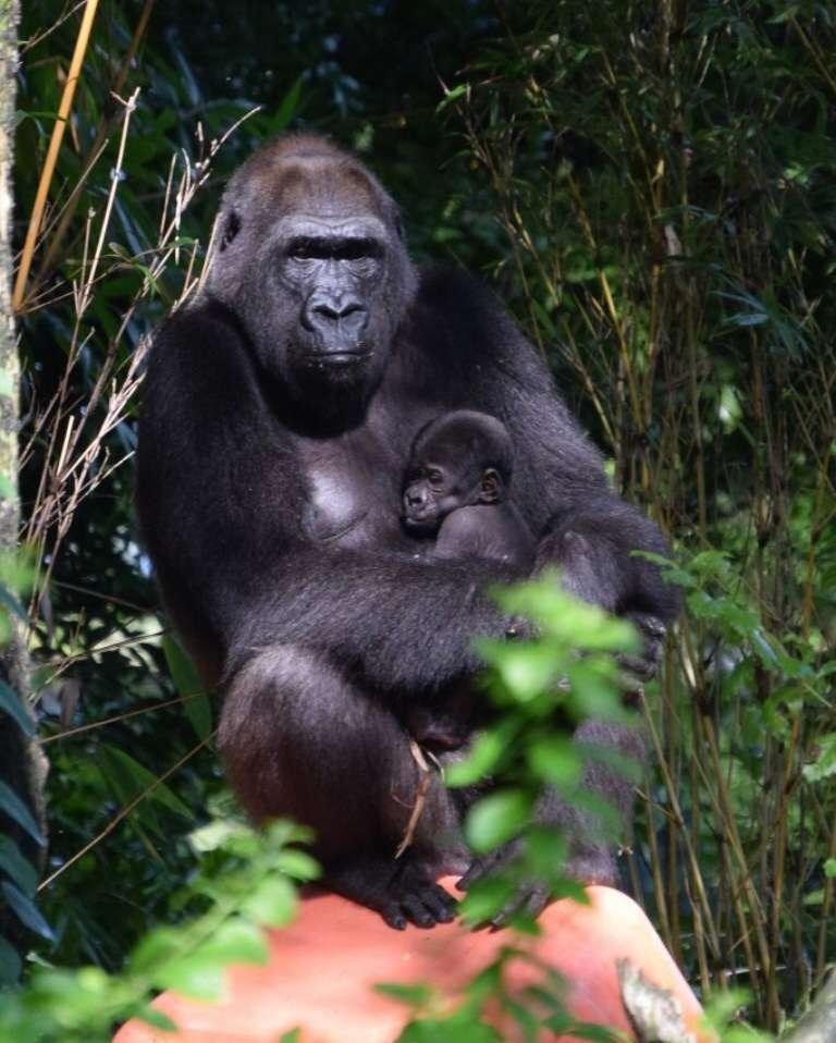 Animal Kingdom Gorilla